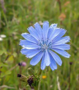 cichory - cichorium intybus - flower