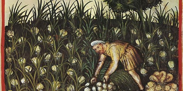 garlic - allium sativum - historical drawing