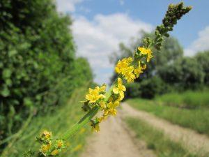 agrimony - agrimonia eupatoria - flower and racerne