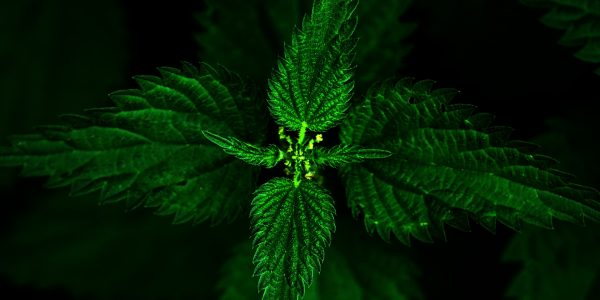 stinging nettle - urtica dioica - top