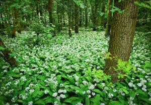bear's garlic - allium ursinum - whole plant