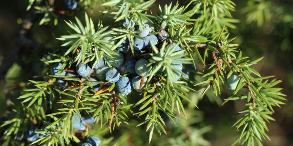juniper - juniperus communis - needle and berry