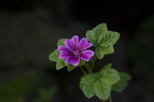 mallow - malva sylvestris - flower