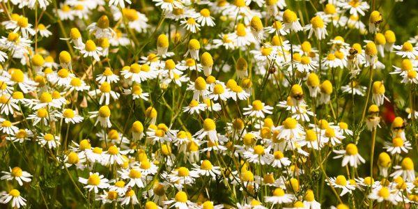 chamomile - matricaria recutita - flowers