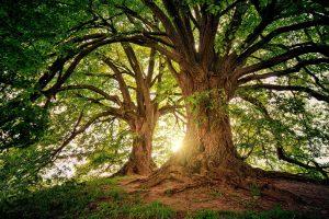 Linden tree - tilia cordata - tree