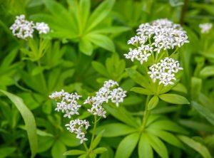 woodruff - galium odorata - flowers and leaves