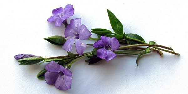 periwinkle - vinca minor - flower and leaf