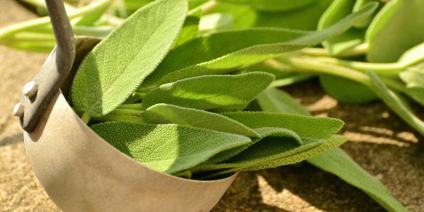 sage - salvia officinalis - leaves