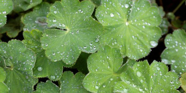lady's mantle - alchemilla vulgaris - leaves