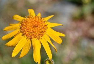 common arnica - arnica montana - flower