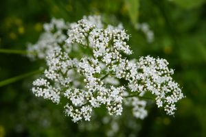 valerian - valeriana officinalis - inflorescence