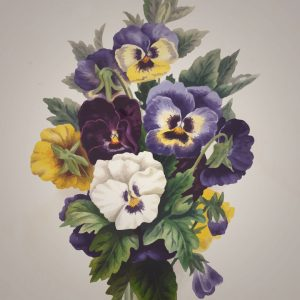 pansy - viola-tricolor - drawing