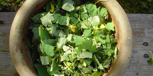 celandine - chelidonium majus - herb