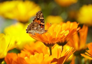 marigold - calendula officinalis - flower and butterfly
