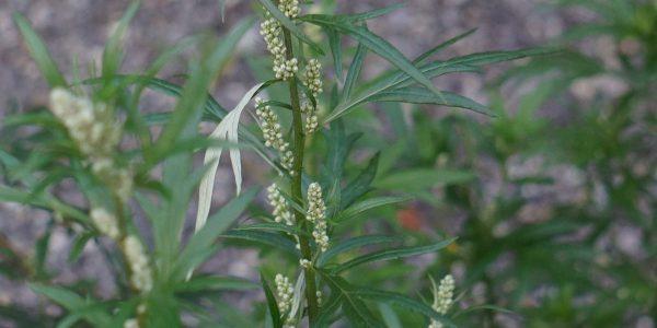 mugwort - artemisia vulgaris - leaves and inflorescence