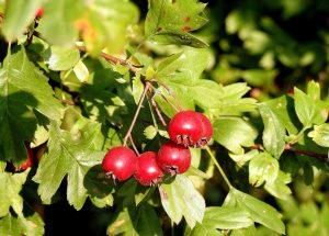 hawthorn - crataegus - leaves and berries