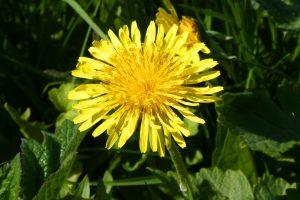 dandelion - taraxacum officinale - flower