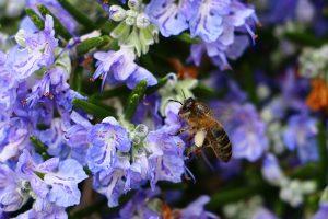 rosemary - rosmarinus officinalis - flower and bee
