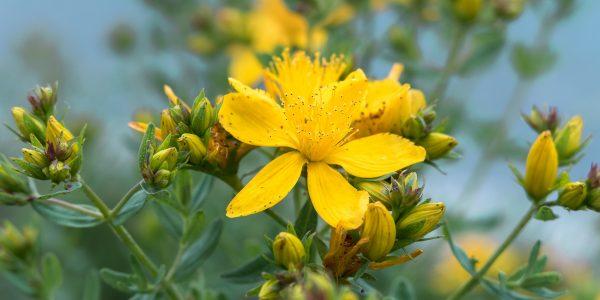 st John's wort - hypericum perforatum - flower and bud