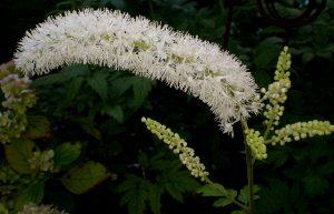 black cohosh - cimicifuga racemosa - inflorescence
