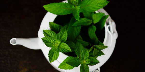 peppermint - mentha piperita - leaves in pot