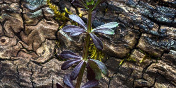 cleavers - galium aparine - leaves
