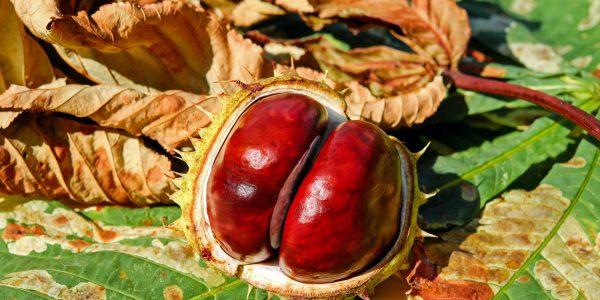 horse chestnut - aesculus hippocastanum - seed