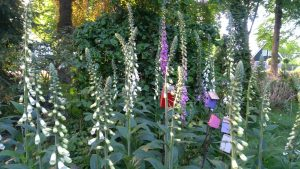 A plant that's better left alone, unless you're an expert on medicinal and therapeutic usage: foxglove, digitalis purpurea