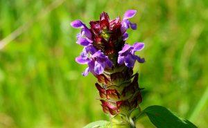 self-heal - prunella vulgaris - flower