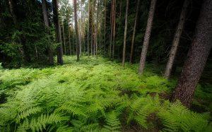 Ferns: medicinal, magical, edible and… beautiful