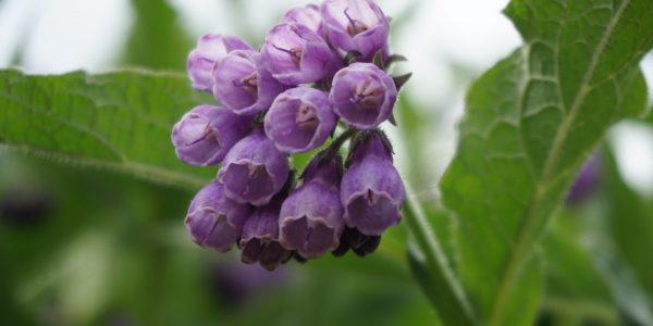 comfrey - symphytum officinale - flower