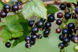 blackcurrant - ribes nigrum - berry and leaf